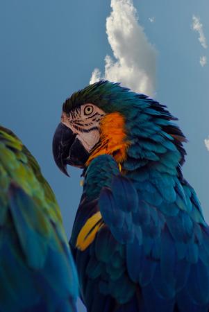 Blue and yellow macaw Latin name Ara ararauna photo
