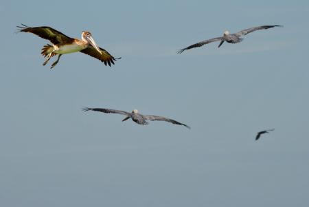 pinellas: Endangered Brown Pelicans Latin name Pelecanus occidentalis Stock Photo