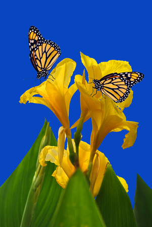 midas: Canna King Midas with 2 Monarch butterflies Stock Photo