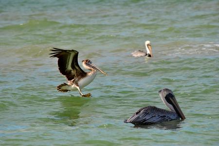 pinellas: Endangered Brown Pelican Latin name Pelecanus occidentalis