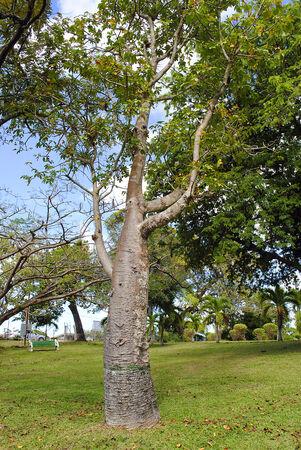 digitata: Adansonia digitata Bottle Tree