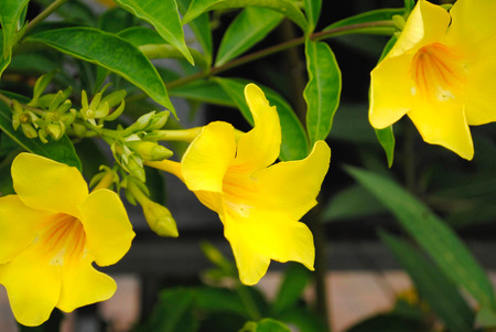 cathartic: Allamanda cathartic GOLDEN BUTTERFLY