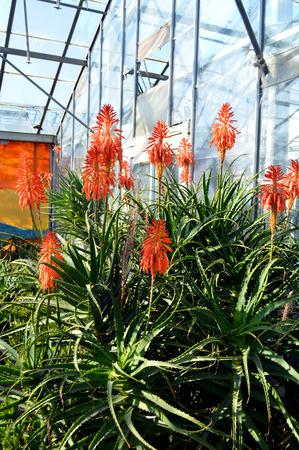 flowering aloe: Aloe arborescens Compton