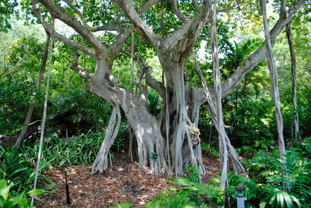 Banyan tree Latin name Ficus benghalensis photo