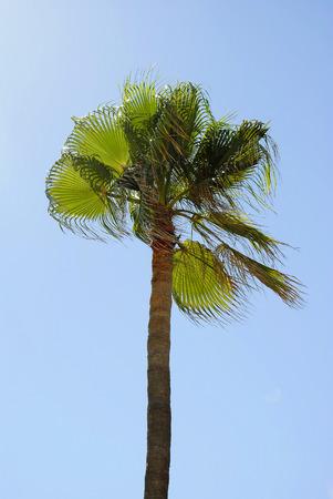 palmetto: Cabbage palm (Sabal palmetto)