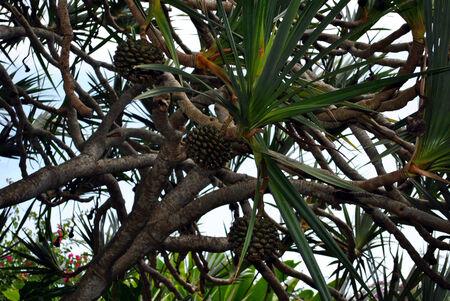 Common screw pine Latin name Pandanus utilis Stock Photo