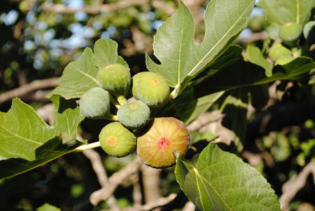 ficus: Ficus Carica (fig)
