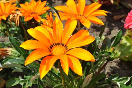 splendens: Gazania splendens Talent Orange