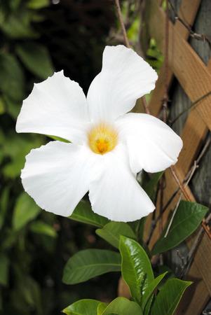 dipladenia: Mandevilla boliviens Apocynaceae