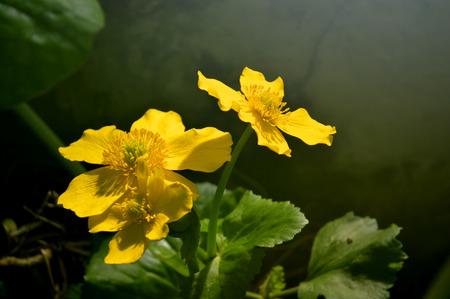 marginal: Marsh marigolds Latin name Caltha palustris