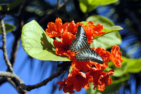 Orange Geiger Tree with Malaysian blue clipper butterfly (parthenos sylvia violacea) photo