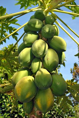 Papaya fruits Latin name Carica papaya photo