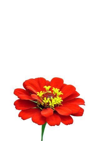zinnia: Zinnia flower  Zinnia sp  Stock Photo