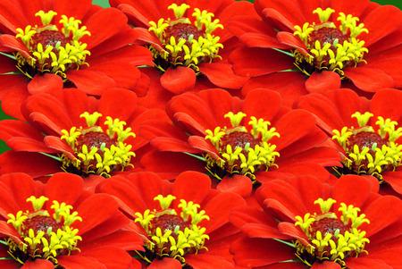 zinnia: Zinnia flowers  Zinnia sp