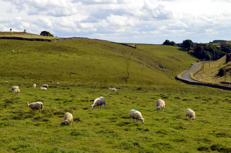 grassing: Sheep in Derbyshire, England UK Stock Photo