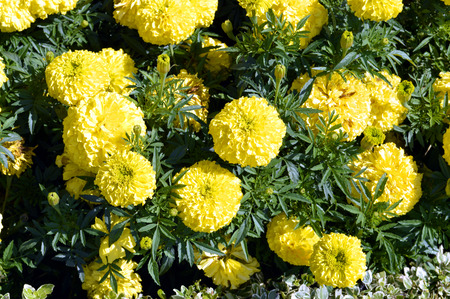 tagetes: Tagetes erecta Stock Photo