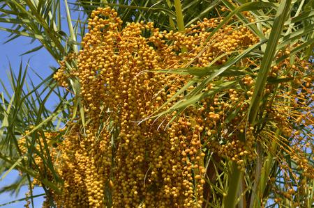 cycadaceae: Sago Palm Latin name Cycas revoluta, fruit