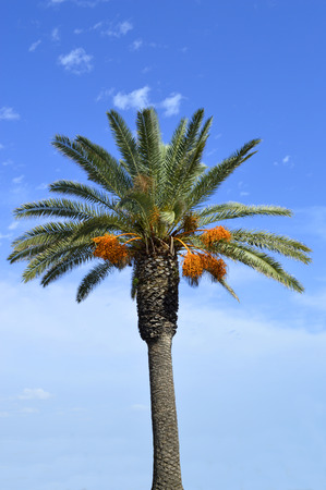 date palm tree: Date palm tree Latin name Phoenix dactylifera, with fruit in Portugal