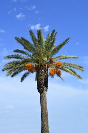 dactylifera: Date palm tree Latin name Phoenix dactylifera, with fruit in Portugal