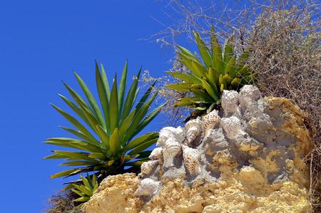 armacao: Cactus garden on Armacao De Pera Beach, Portugal