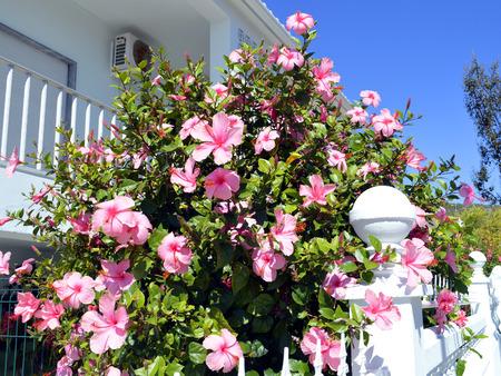 sinensis: Chinese hibiscus Latin name rosa sinensis flowering