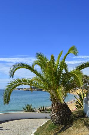cycas: Sago Palm Latin name Cycas revoluta