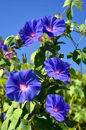 portugal agriculture: Blue Trumpet vine flowering in Portugal