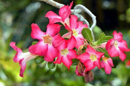 marie: Adenium arabicum in Marie Selby Botanical Gardens Sarasota Florida USA