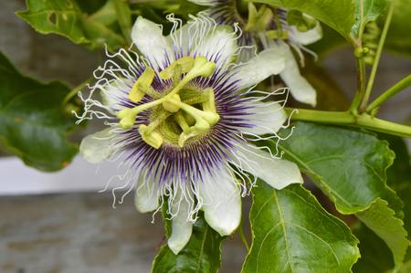 possum: Passion vine Latin name passiflora Possum Purple