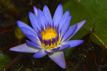 lilypad: Blue waterlily flower Latin name Nymphaea sp.
