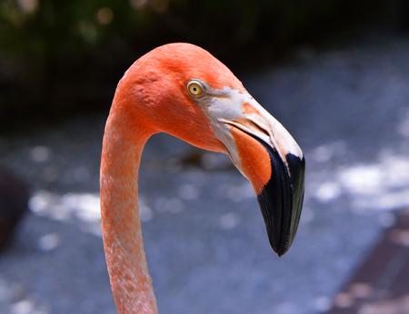 florida flamingo: Caribbean flamingos Latin name Phoenicopterus ruber