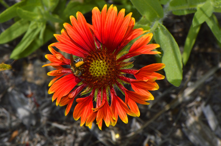 dicot: Blanket flower Latin name gillardia pulchella with a bee