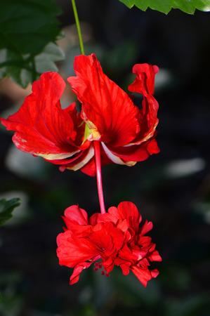 capitolio: Variegated Tropical Hibiscus Latin name Hibiscus rosa-sinensis, El Capitolio