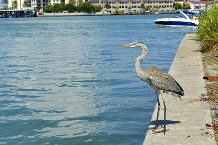 grey heron: Grey heron Latin name Ardea cinerea