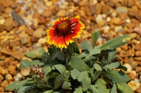 dicot: Blanket flower Latin name gillardia pulchella