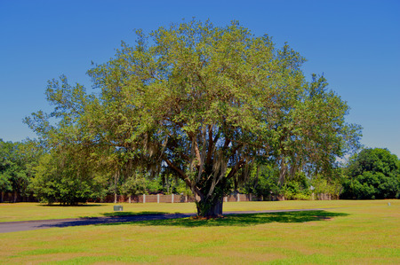 quercus: Oak tree Latin name Quercus virginiana with Spanish moss growing on it