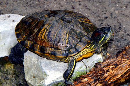 Red-eared Slider turtle Latin name Trachemys scripta elegans Stock Photo