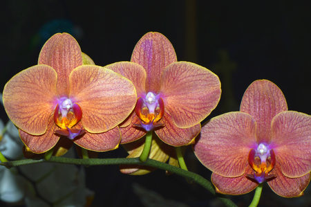 angiosperms: Orchid Latin name Orchis phalaenopsis flowers
