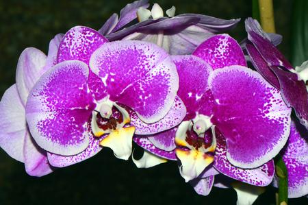 epiphytic: Phalaenopsis orchid flowers Stock Photo
