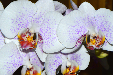 epiphyte: Phalaenopsis Good Tern x Risson Closeup of a moth orchid Stock Photo