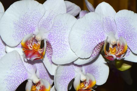 epiphytic: Phalaenopsis Good Tern x Risson Closeup of a moth orchid Stock Photo