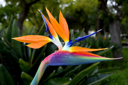 bird of paradise: Bird of paradise Latin name Strelitzia reginae