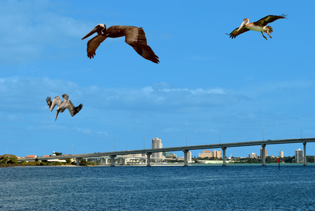 pelicans: Brown pelicans flying over Sand Key in Florida Stock Photo