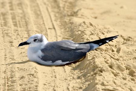 nilotica: Gull-billed Tern Latin name Sterna nilotica