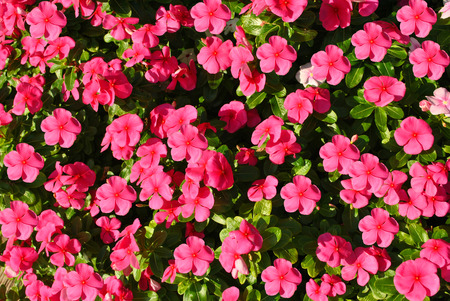 angiosperms: Busy lizzie Botanical name Impatiens Accent Violet flowers