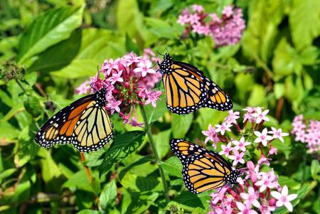 Monarch Butterfles Nombre latino Danaus plexippus Foto de archivo - 51336680