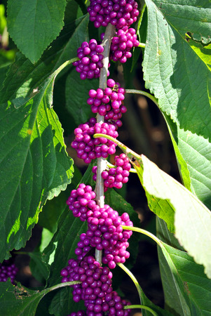 americana: American Beautyberry Latin name Callicarpa americana