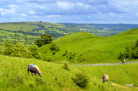 grassing: Sheep in Edale Derbyshire