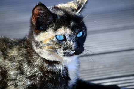 felis silvestris catus: Domestic cat Latin name Felis silvestris catus