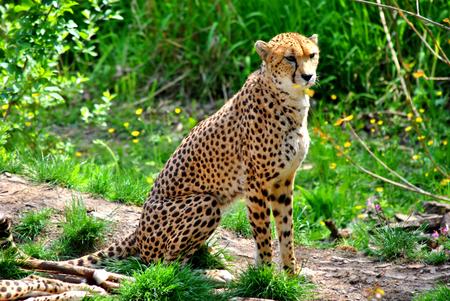 acinonyx: Cheetah Latin name Acinonyx jubatus